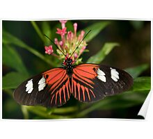 Longwing Butterfly Poster