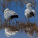 Ross's Geese by Floyd Hopper