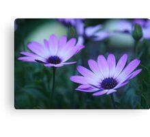 daisy dawn (osteospermum) Canvas Print