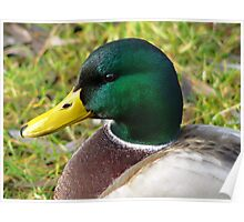 Portrait of a duck... Poster