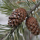 Two Frosty  Pinecones by tinmar