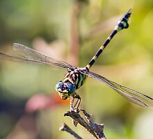 Australian Tiger Dragonfly by Teale Britstra