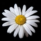 Daisy by Richard Heyes