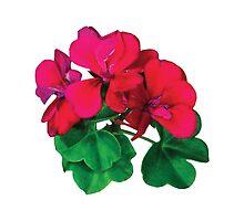 Small Magenta Geraniums by Susan Savad