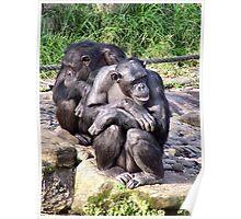Chimps Poster