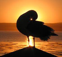 Seagull at Sunrise in Monterey, CA by Travis Hammond