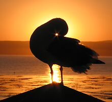 Seagull at Sunrise in Monterey, CA by axb500