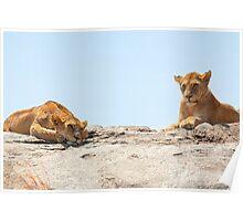 African Lions, Serengeti, Tanzania  Poster