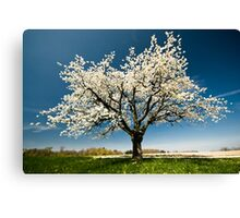 Single blossoming tree in spring. Canvas Print