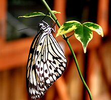 Rice Paper Butterfly by Jo Nijenhuis