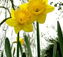 Daffodils by valerieparent