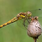 female common Darter Dragonfly by George Ledger