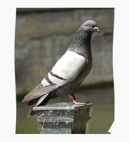 Pigeon... Poster