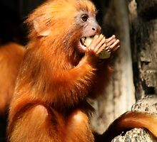Golden Lion Tamarin by Anne-Marie Bokslag