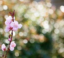 Cherry Blossom by jellik