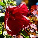 Hibiscus  by jwawrzyniak