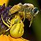 (Insects, Spiders & Other Category) - Family - Thomisidae - Crab Spiders