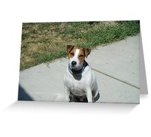 jack russel terrier- jay jay Greeting Card