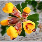 Hard Head Pea Flower by pcbermagui