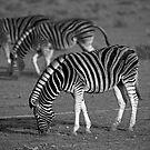 Zebras of Etosha by Wild at Heart Namibia
