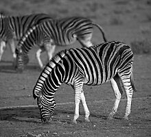 Zebras of Etosha by Wild at Heart Namibia