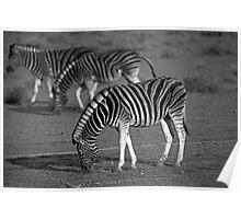 Zebras of Etosha Poster