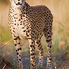 Cheetah stalking in the grassland of the savannah - Namibia by Wild at Heart Namibia