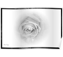 Study of a Rose Poster