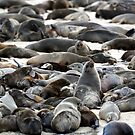 Cape Fur Seals - Namibia by Wild at Heart Namibia