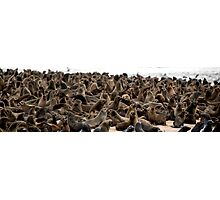 Cape Fur Seal Colony - Cape Cross, Namibia Photographic Print