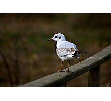 Seagull #2 Photographic Print