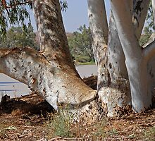 River red gum by Anne Schneyder