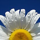 Daisy on Blue by Ian Benninghaus