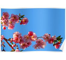 Cherry flowers against a blue sky Poster
