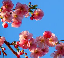 Cherry flowers against a blue sky by KerstinB