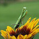 Praying Mantis by BigD