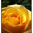 Yellow Rose of Texas by www4gsus