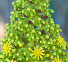 Flor de Aeonium arboreum (III) Sticker