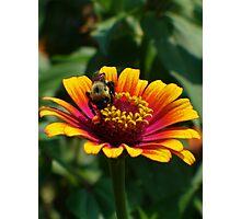 Bumble Bee on Zinnia Photographic Print