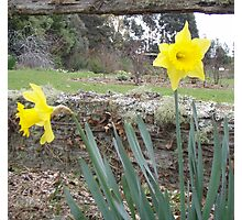 split rail fence and sweet daffodils Photographic Print