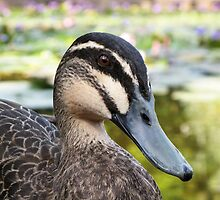 Pacific Black Duck - portrait by Tony Steinberg