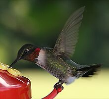 Ruby-Throated Hummingbird by Patricia Montgomery