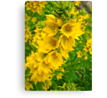 Small Yellow flowers 2 Canvas Print