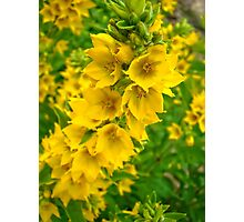 Small Yellow flowers 2 Photographic Print