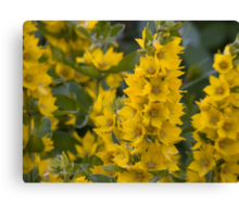 Small Yellow flowers 3 Canvas Print