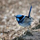 Superb Fairy Wren by Mary Broome
