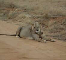 Lion in Road by Barrie Johnson