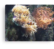 Clown Fish, Red Sea, Diving Egypt Canvas Print