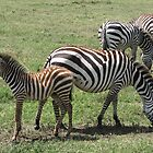 Zebras by Rhona