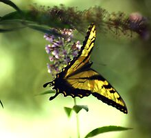 Tiger Swallowtail by JohnGo